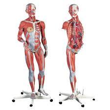 Human Anatomical Models Market